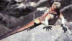 Land Iguana on a Galapagos wildlife trip