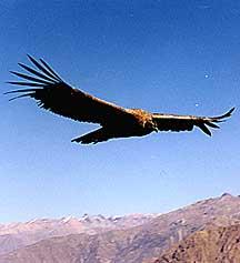 Colca Condor Peru