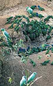 Parrots at Clay Lick