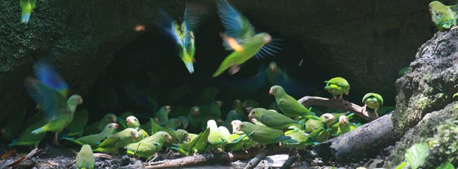 Ecuador Tours and Travel: Parrots at Clay Lick in the Ecuadorian Amazon
