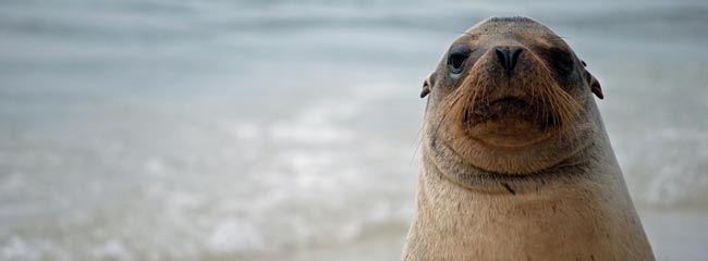 Galapagos Tours and Travel: Sea Lion in the Galapagos