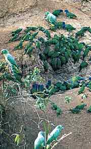 View Macaws and other Amazon birds with Adventure Life